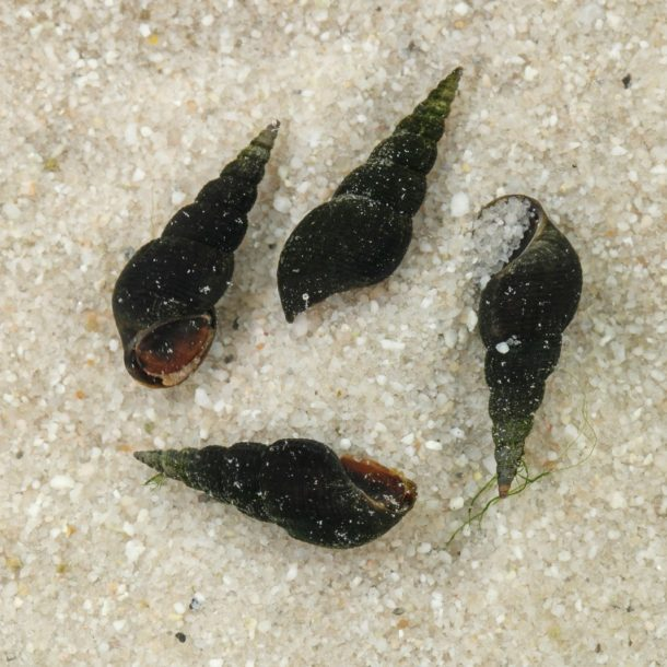 Schwarze Turmdeckelschnecke
