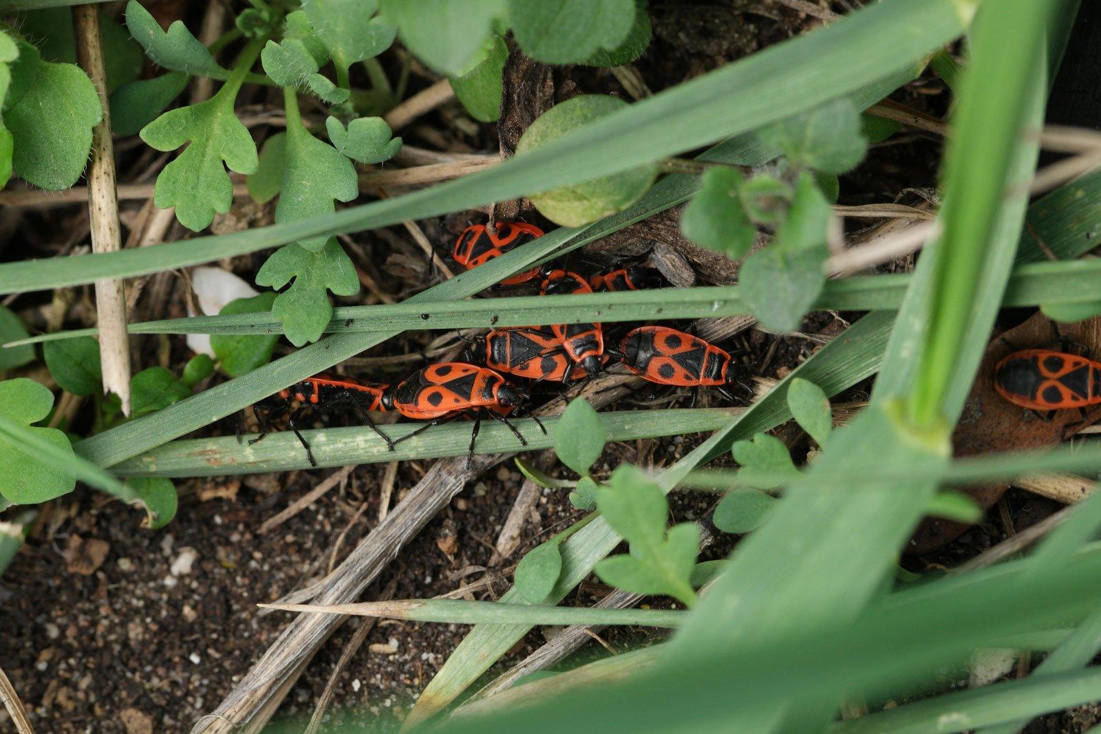 Pyrrhocoris apterus 2