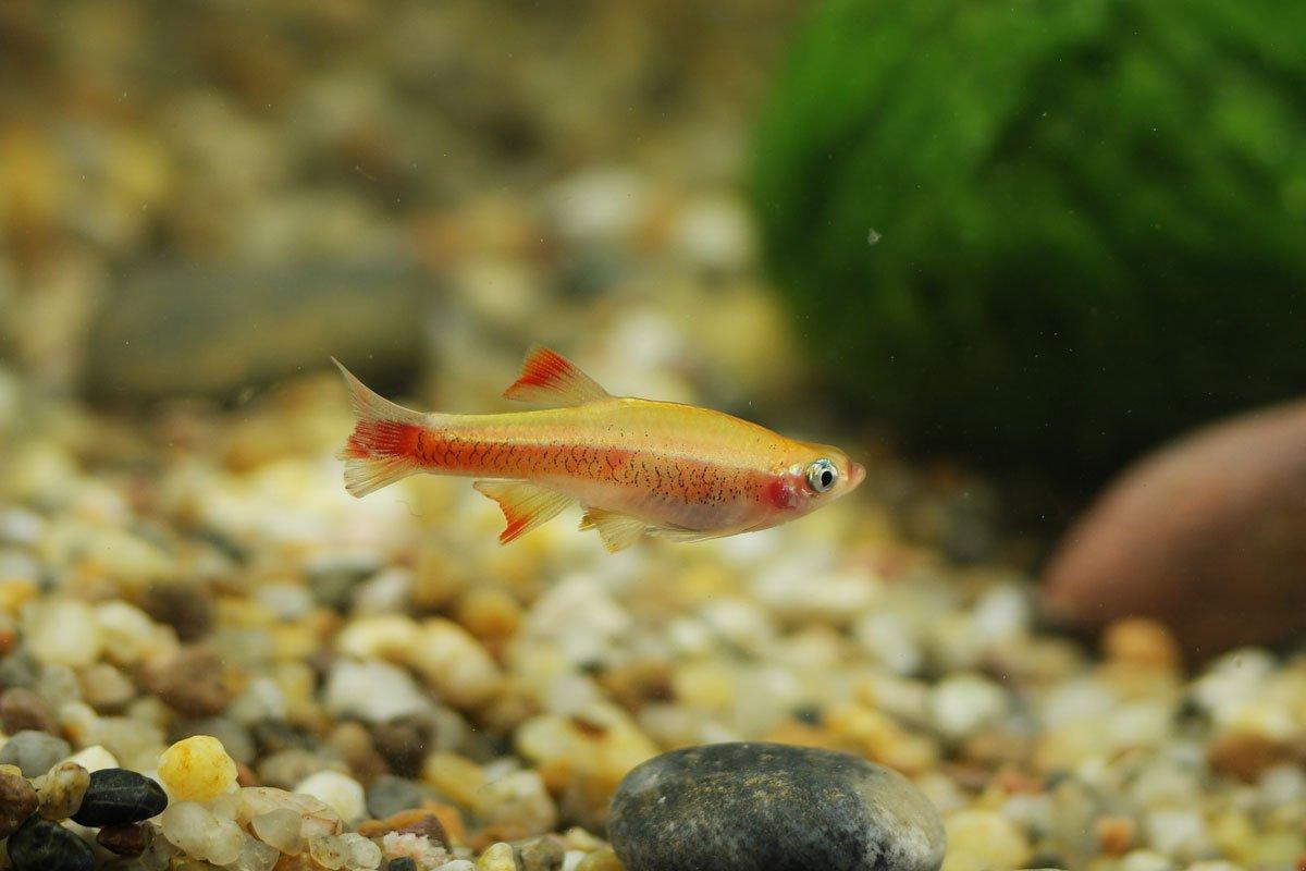 Kardinalfisch-Fire