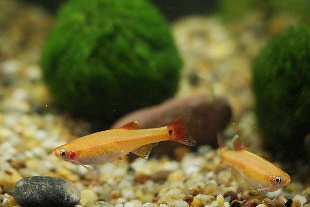 Kardinalfisch-Gold