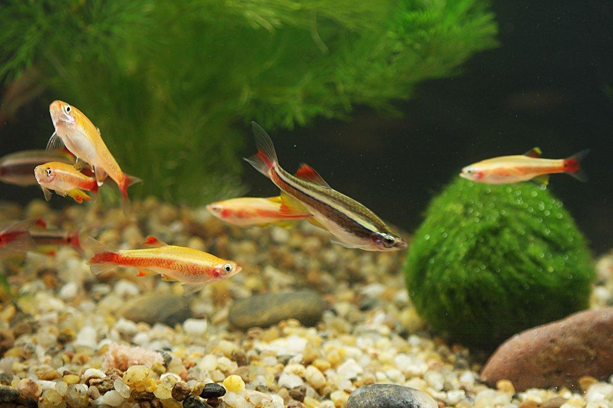 Kardinalfische