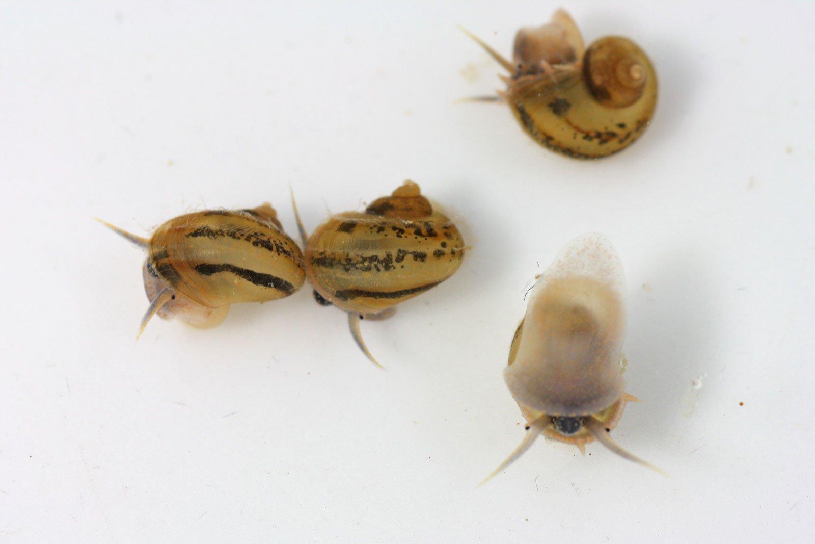 Junge Sumpfdeckelschnecken