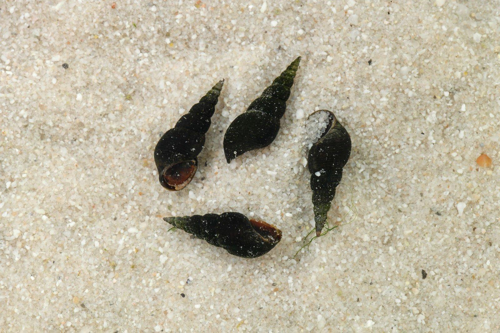 Schwarze Turmdeckelschnecken