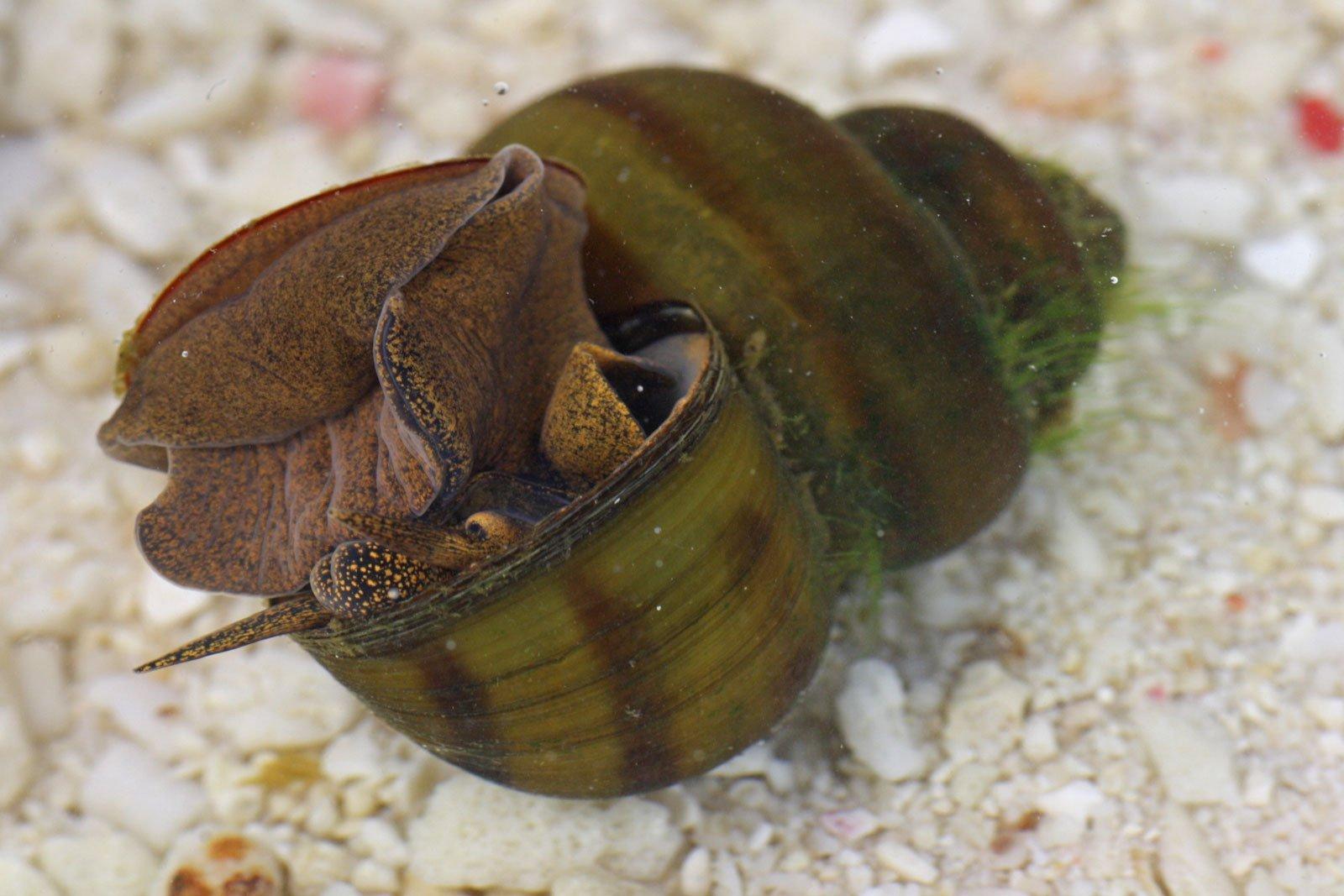 Stumpfe Sumpfdeckelschnecke