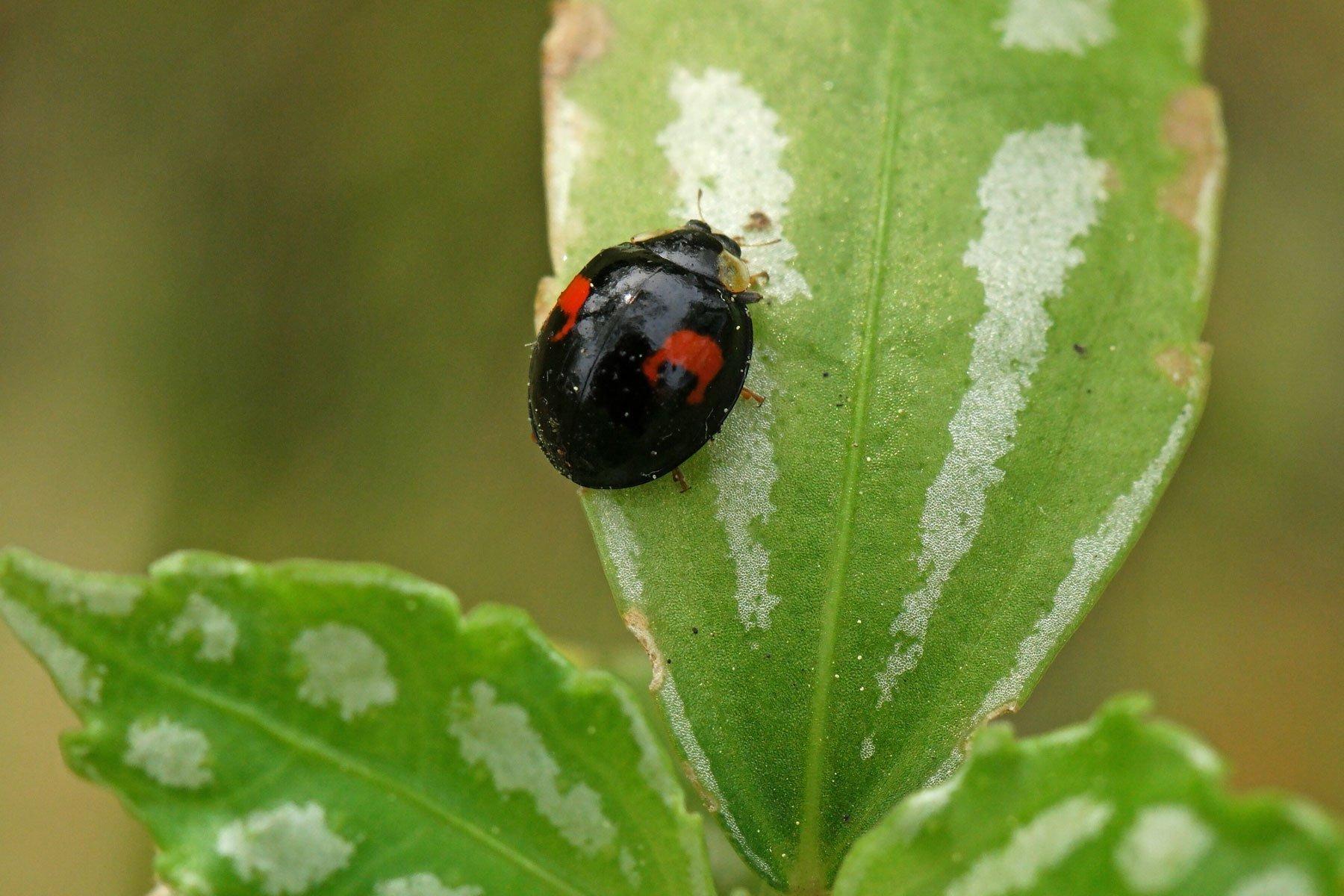 Asiatischer Marienkäfer schwarz