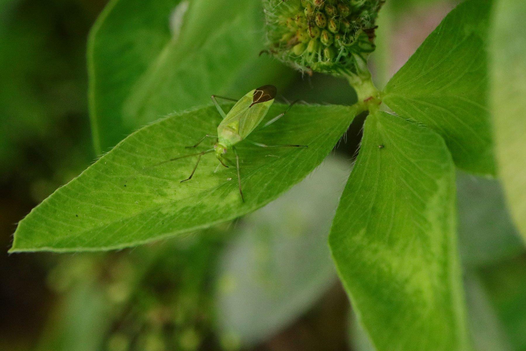 Calocoris affinis