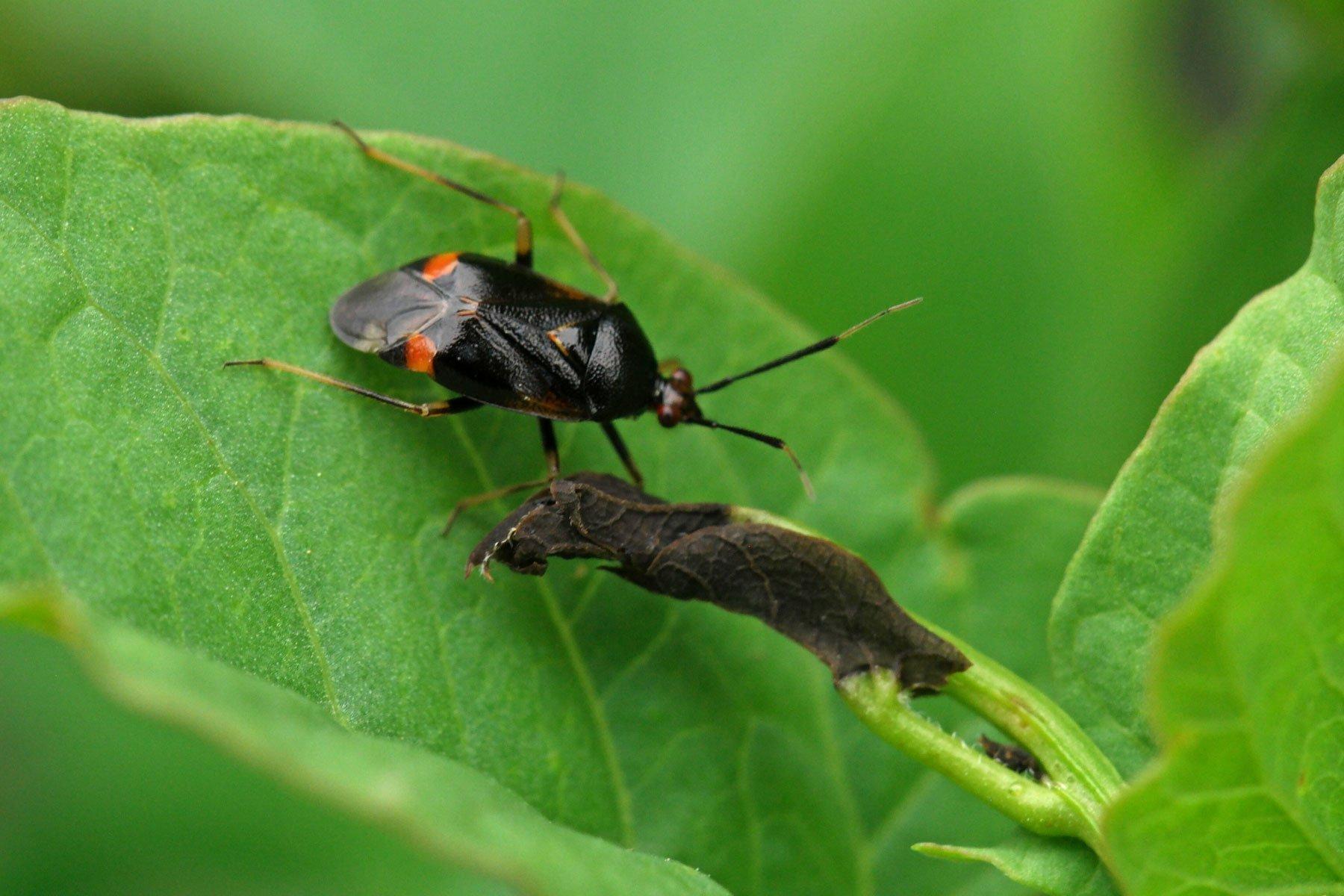 Deraeocoris ruber schwarz