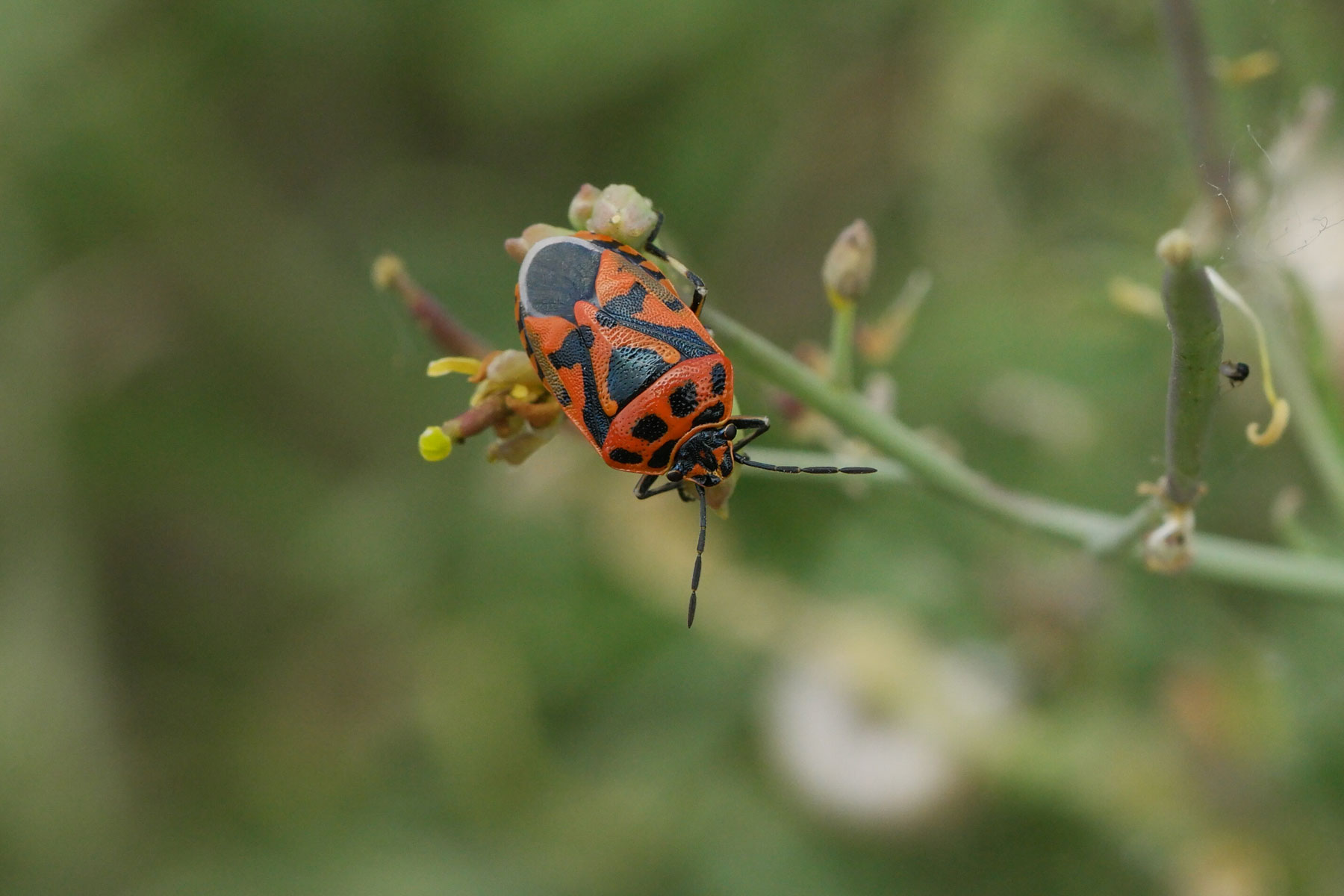 Eurydema ornata