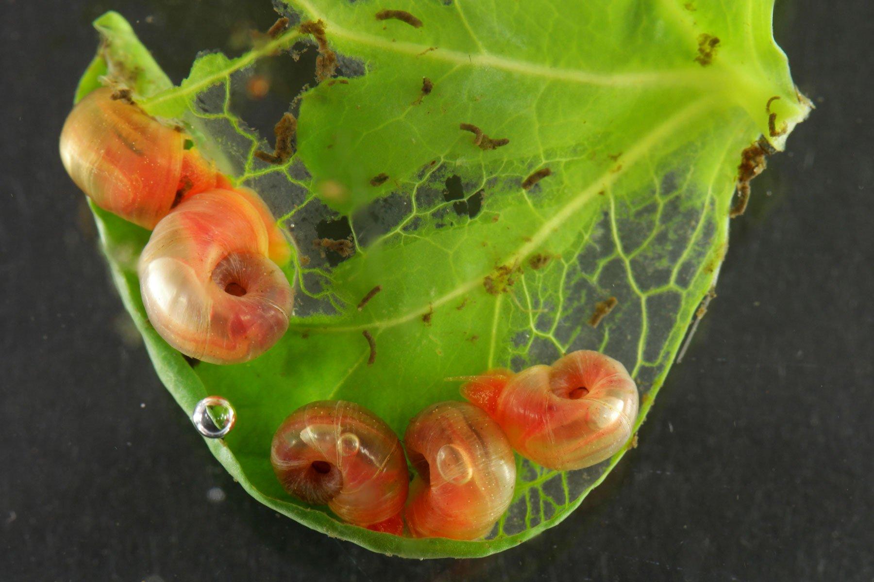 Posthornschnecken fressen Kaffeeblatt