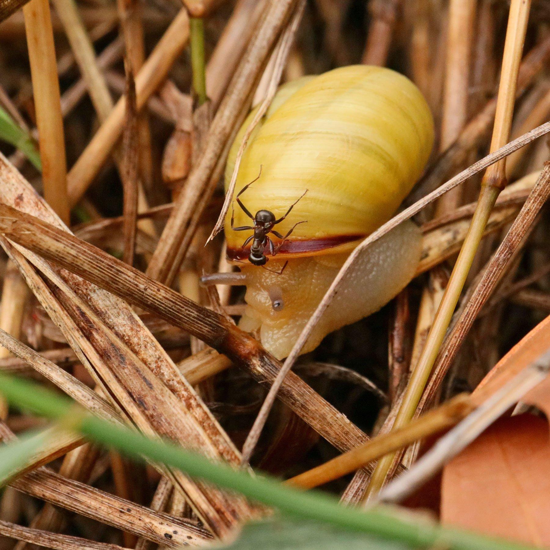 Ameise auf Bänderschnecke