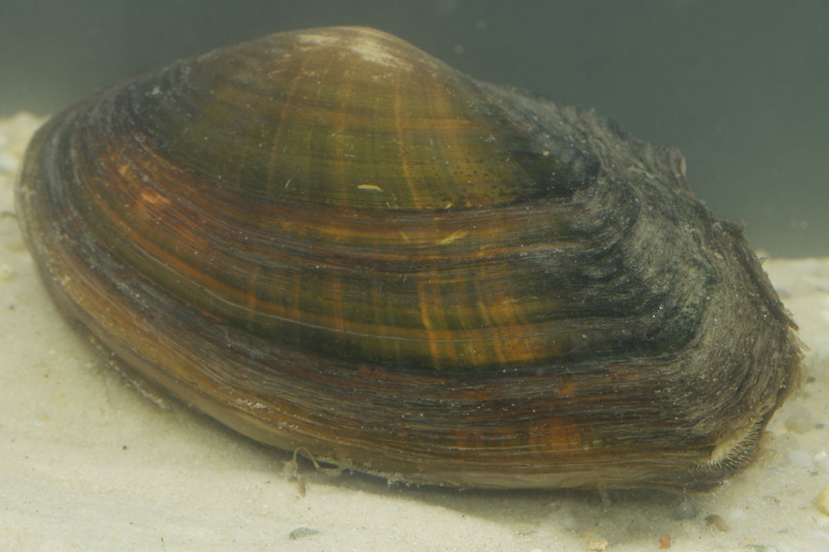 Anodonta cygnea
