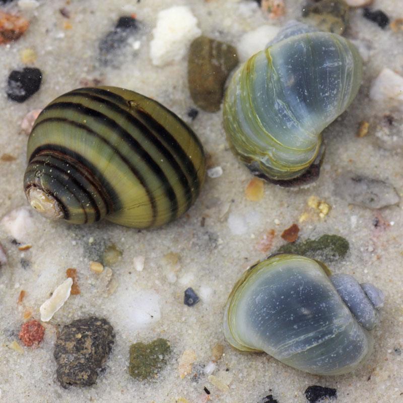 Apple Zebra Snails