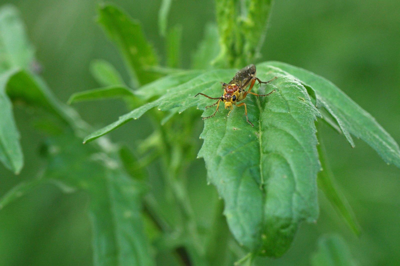 Tenthredopsis sordida