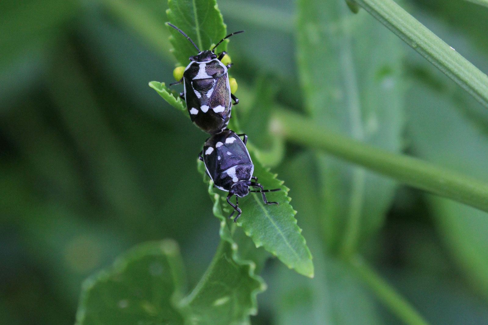 Tritomegas sexmaculatus