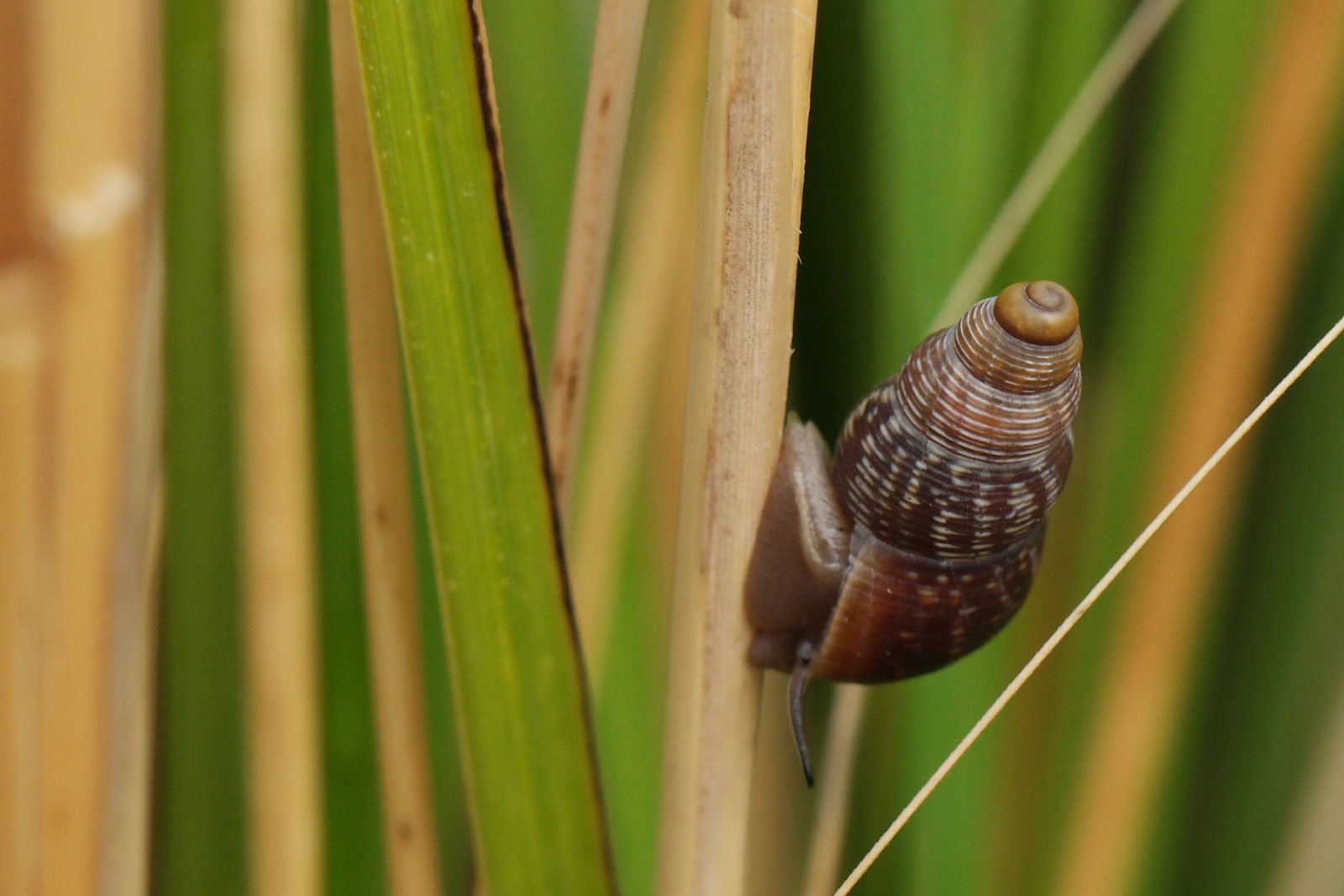 Tudorella ferruginea
