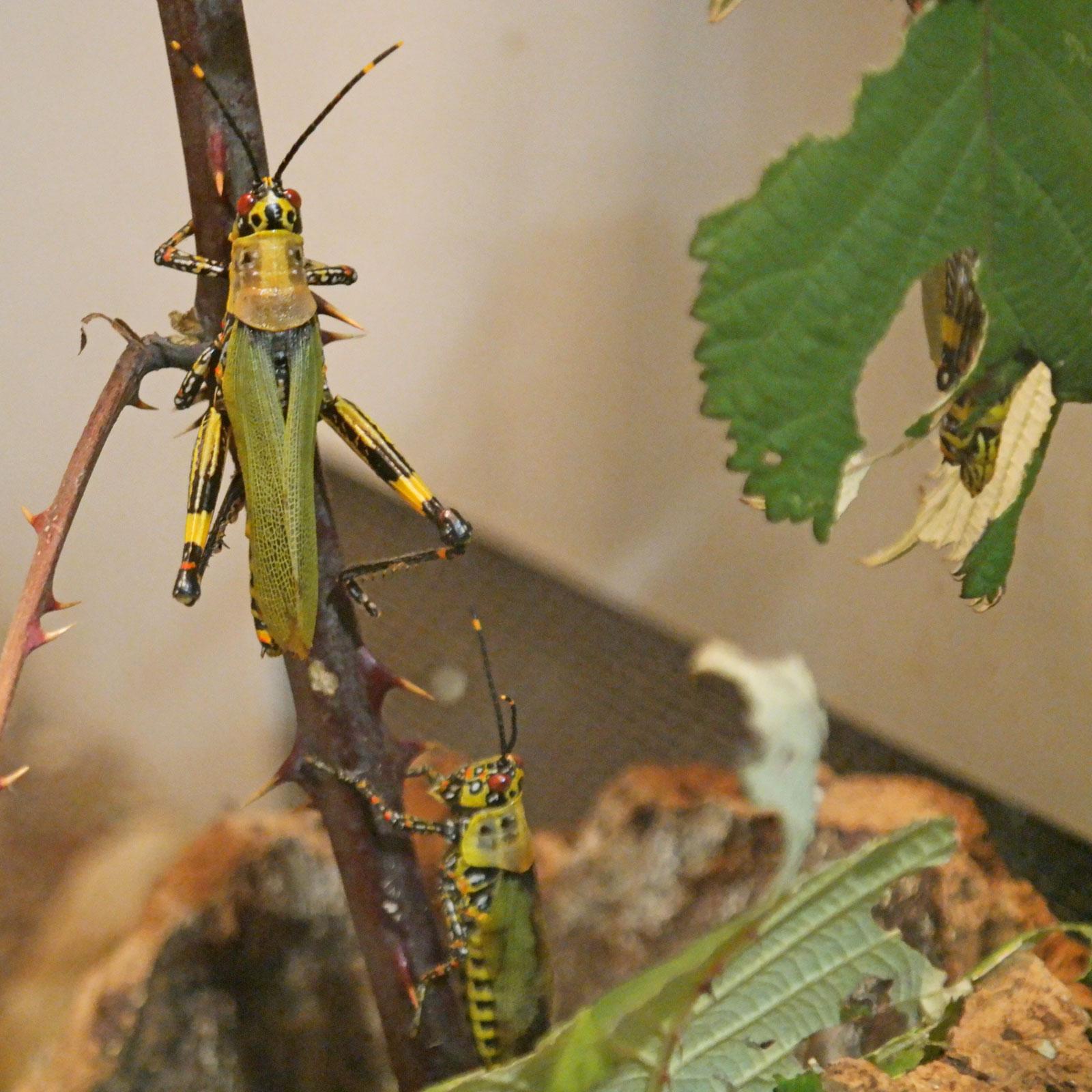 Zonocerus variegatus