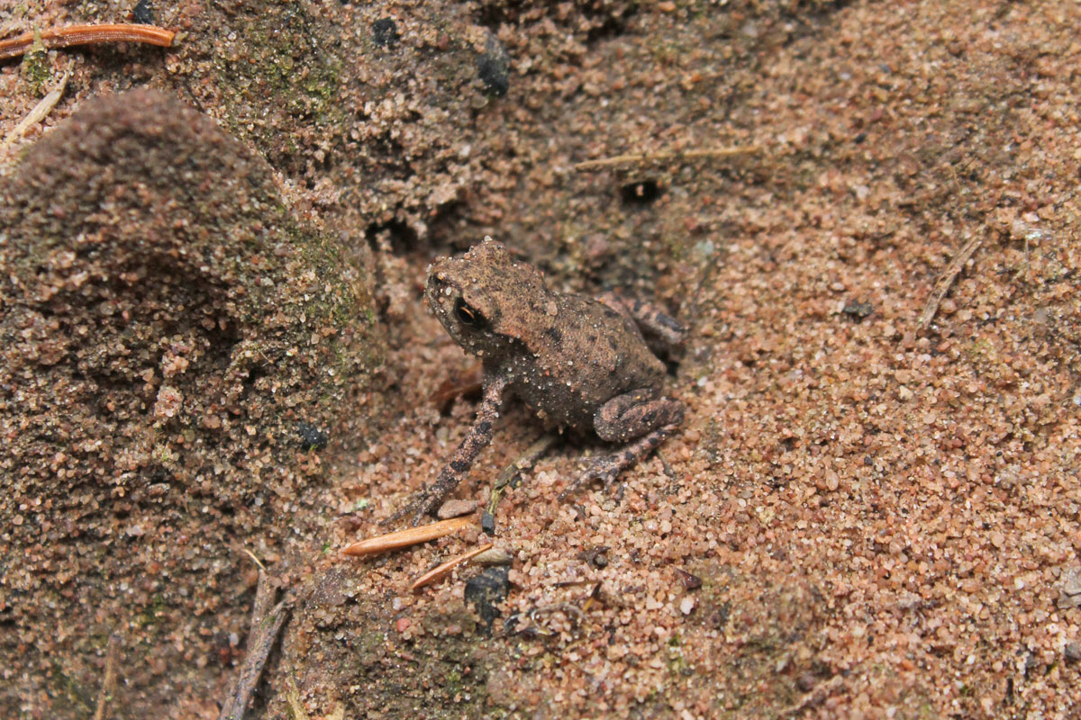 young-toad