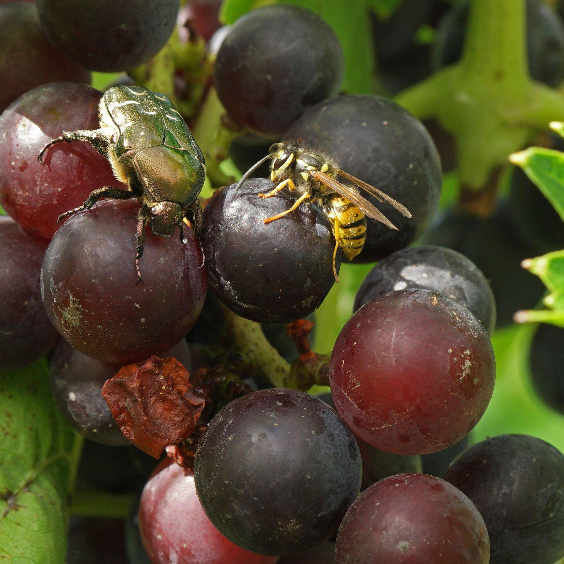 Rosenkäfer und Wespe